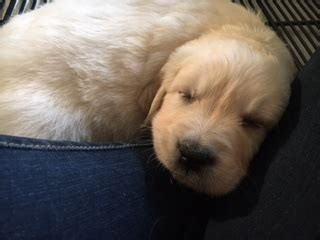 golden retriever puppies omaha omaha breeds puppies with a purpose kmtv