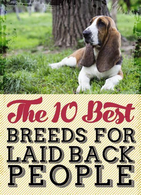 best breed for me the 10 best breeds for laid back