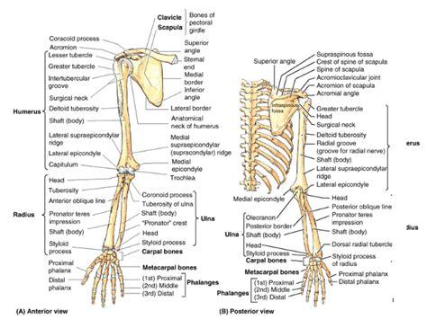 appendicular skeleton diagram appendicular skeleton labeling worksheet free worksheets