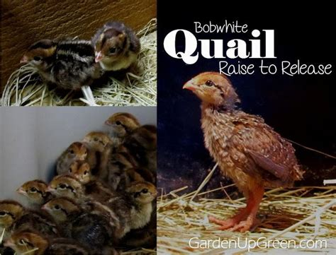 raising quail in your backyard 1000 images about quail farming on pinterest chicken