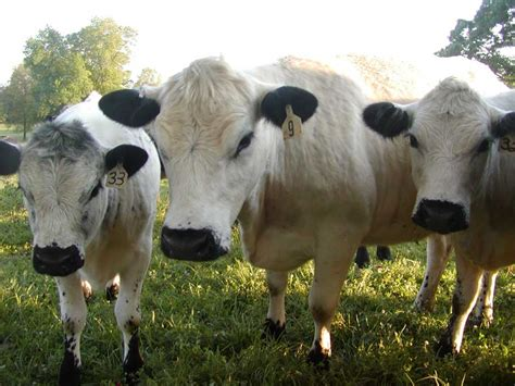 cow breeds the white cattle breed