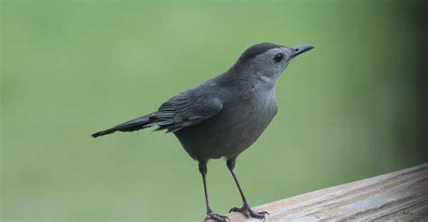 catbird eclegein