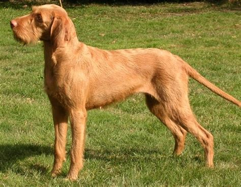 vizsla breed wirehaired vizsla breed guide learn about the wirehaired vizsla