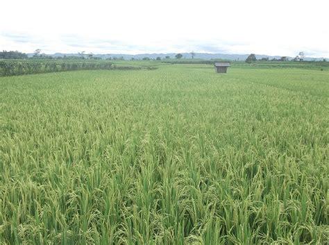 gambar gratis tanaman padi terhampar  sawah  gubuknya
