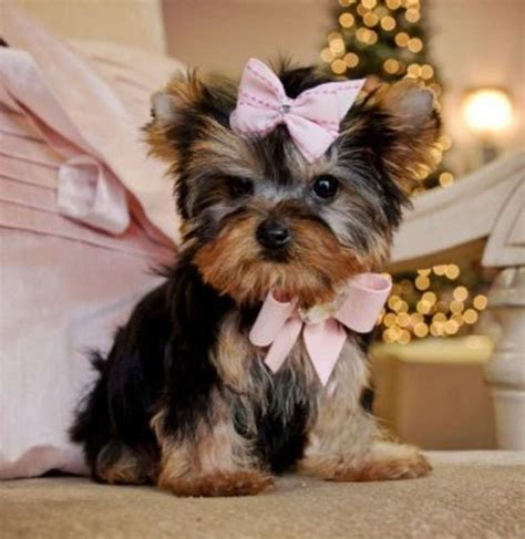 san antonio yorkie 25 best ideas about terrier on yorkie yorkie puppies