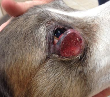 mass cell tumor in dogs masitinib mesylate treatment of mast cell tumor in a dr nelson s veterinary