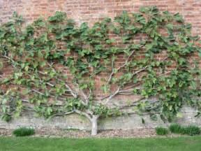 Patio Cherry Tree Spalierobst Im Garten Anbauen An Fassaden Und Mauern