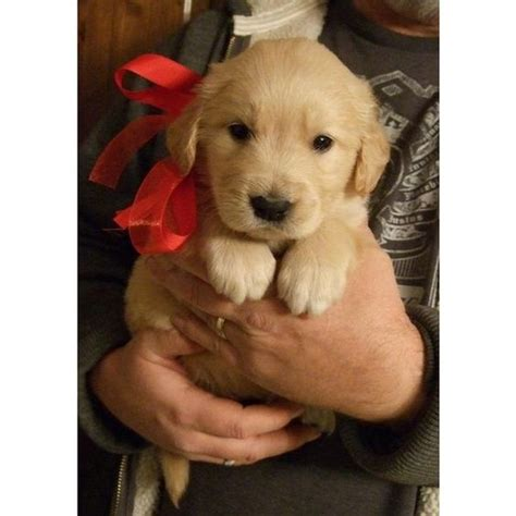 Golden Retriever Puppies Retriever Puppies And Golden Retrievers On