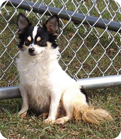 japanese chin pomeranian mix puppies unionville ct pomeranian japanese chin mix meet gretel a for adoption