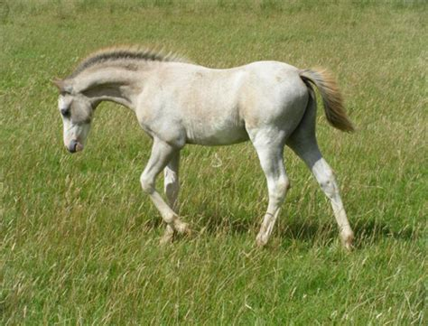 section a welsh ponies for sale welsh section b ponies wedderlie martell for sale