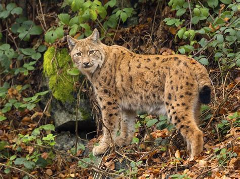 Fabulous Facts About the Highly Intelligent Highland Lynx Cat
