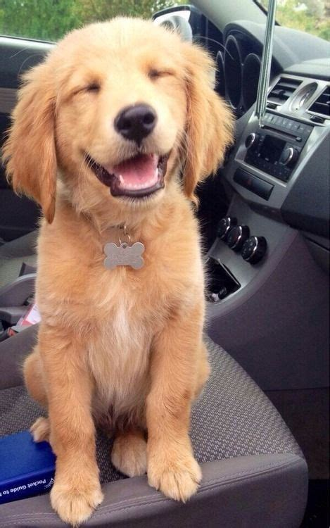 puppyhood a trained puppy a happy owner the happy golden retriever puppy aww lol cats lol
