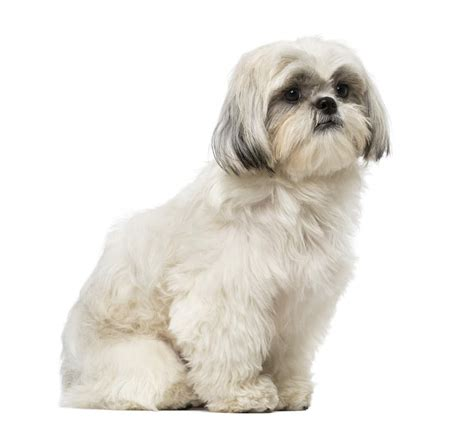 types of shih tzu dogs shih tzu dogs breed information omlet