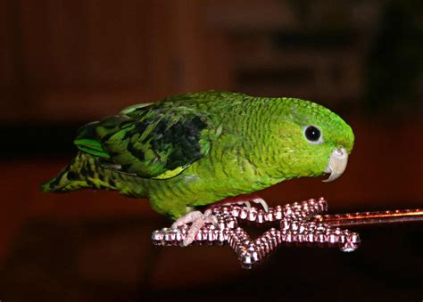 lineolated parakeets as pets