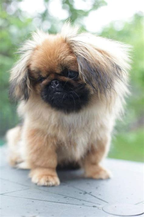 Website Where You Can Search For Click Visit Site And Check Out Cool Quot Pekingeses Quot T Shirts This Website Is Outstanding