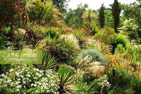 Callistemon Variegata gap gardens mediterranean bank covered with kniphofias