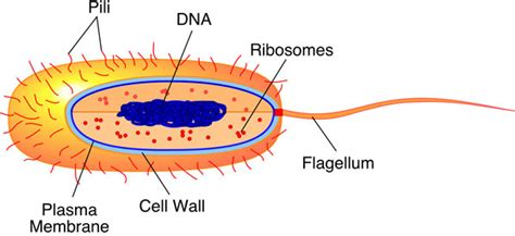 bacterial cell diagram labeled pictures info prokaryotic