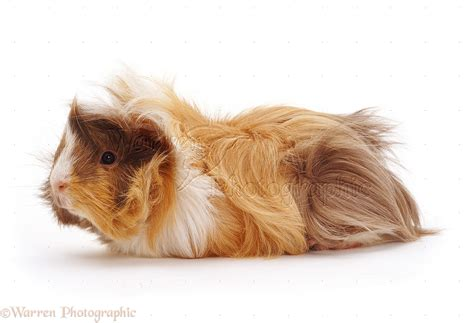 Young Abyssinian rosette Guinea pig photo WP13883