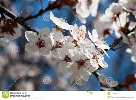 early spring flowering trees stock photos image 23979643