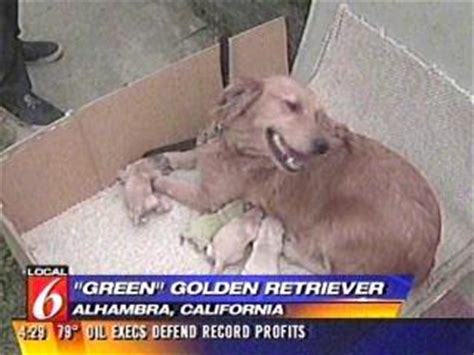 green golden retriever puppy golden retriever gives birth to green puppy part 26