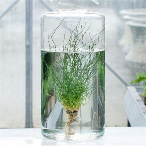 Plants In Water Vase by Cylinder Terrarium Vase Inspiration And Water Plants