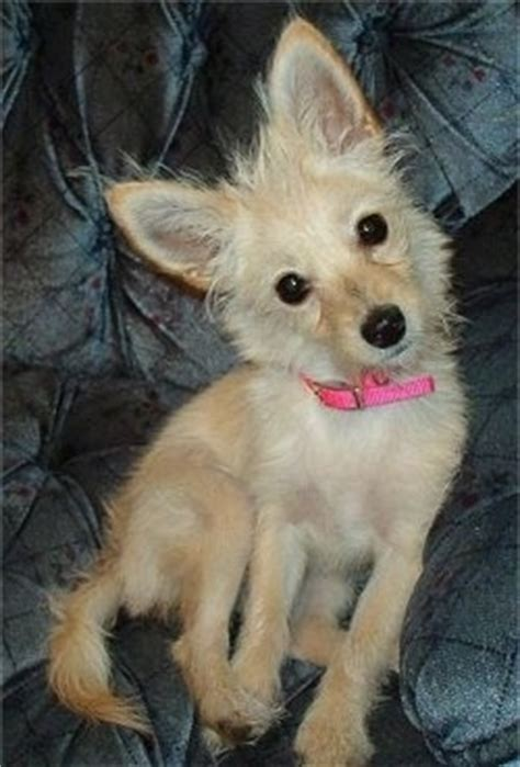 how much does a yorkie chihuahua mix cost poodle chihuahua mix dogs in our photo
