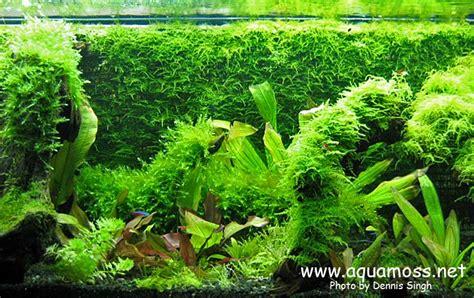 Java Moss Aquascape by Java Moss Background Step By Step Diy Java Moss Wall Aquarium Fish
