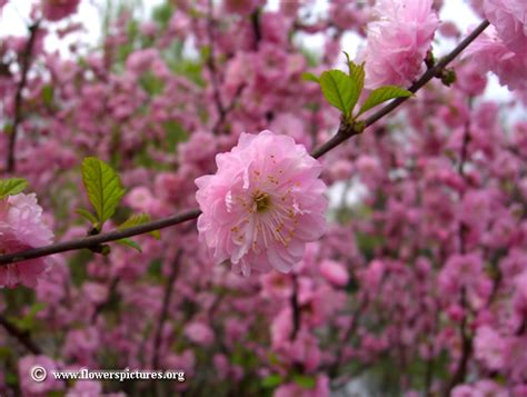 flowering almond pictures free flowering almond photos