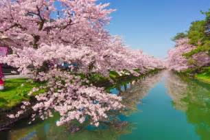 cherry blossoms cherry blossom in japan everything you need to to