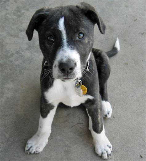 pitbull border collie mix puppies fury the mixed breed puppies daily puppy