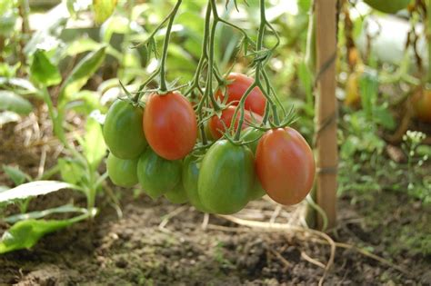 Wie Pflege Ich Tomatenpflanzen 5105 by Tomaten Archive Garten Mix
