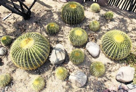 bug resistant cactus plants 17 pointers on keeping your cactus looking sharp tucson