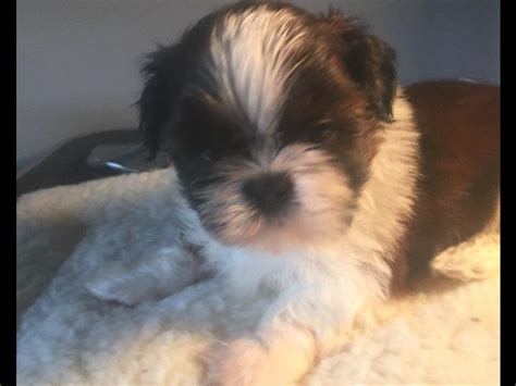 shih tzu breeders in va akc puppies for sale in virginia akc marketplace