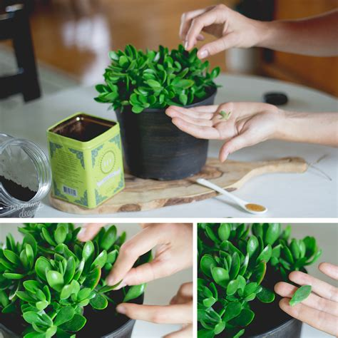 How To Propagate A Succulent Cookie And Kate - propagate your succulent plants using cuttings and leaves