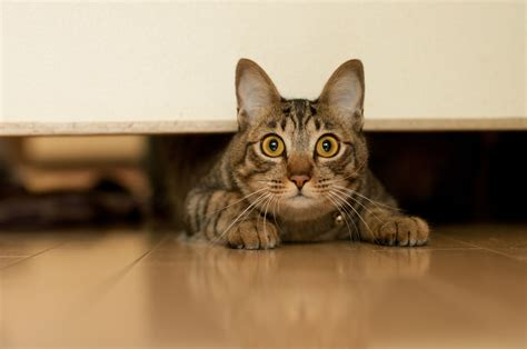 8 natural and herbal remedies for stress in cats