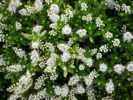 hardy flowering shrubs uk longstone hardy plant gardens
