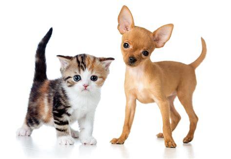 Чихуа-Хуа собаки фото
