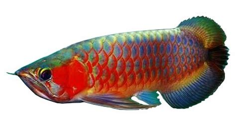 asian arowana fish information, and hd pictures other details