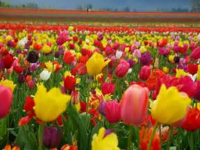 photograph field of tulips
