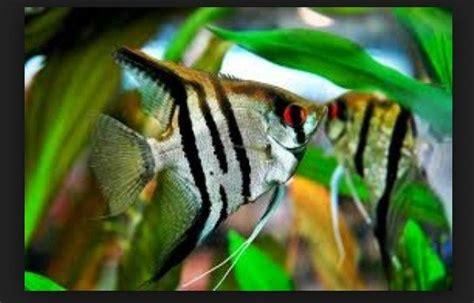 Makanan Ikan Hias Lemon jenis ikan hias aquarium terlengkap yang mudah dipelihara