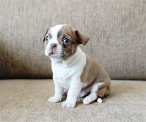 boston terrier puppies indiana boston terrier puppies in bridgwater somerset gumtree