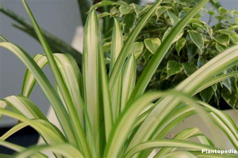 Pflanzen Die Kaum Licht Brauchen by Zimmerpflanzen Die Wenig Licht Brauchen Gr 252 Ne Und