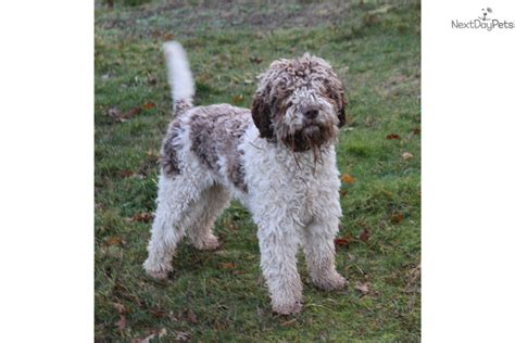 lagotto romagnolo puppies for sale jake lagotto romagnolo puppy for sale near nanaimo columbia c7a10b51 fd01