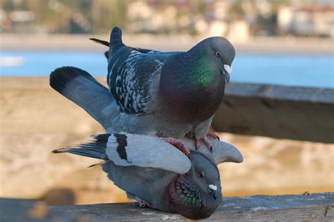 file pigeons mating 4869 jpg
