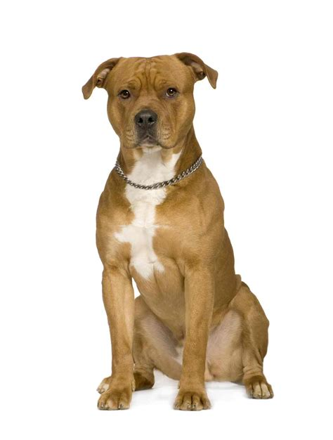 American Staffordshire Terrier portret photo and wallpaper ...