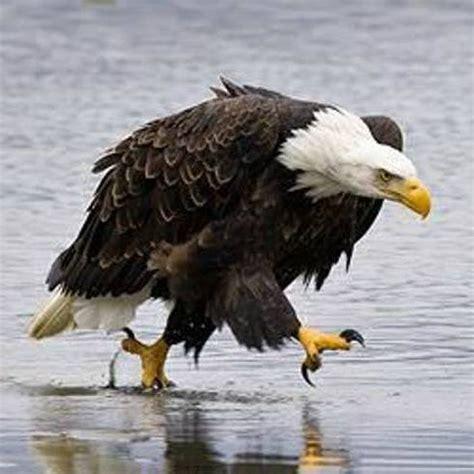 bald eagle walking walking eagle news theeagleist