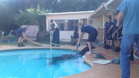 Pinks Bulldog Drowns In Pool by Firefighters Save Drowning In Pool