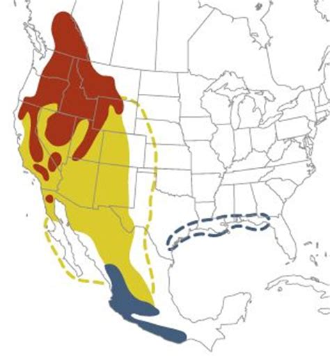 calliope hummingbirds migration pattern fascinating