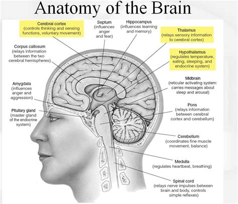 anatomy of the brain diagram great graphic of brain anatomy cognitive neuroscience