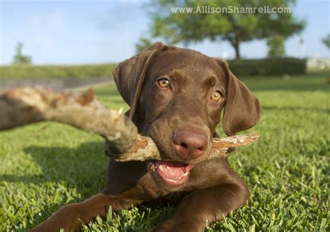 chocolate lab mix puppies chocolate lab puppy for sale breeds picture